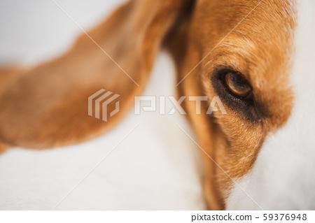 Beagle dog sleeping, closeup shoot 59376948