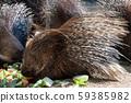 Cape porcupine eats vegetables  59385982