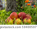 Group of apples in the grass, near a tree 59400507