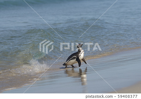 Magellanic Penguin (Spheniscus magellanicus)  59408377