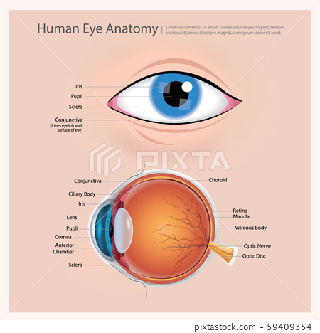 Human Eye Anatomy Vector Illustration 59409354