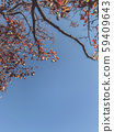 tree in autumn, Natural scene of autumn leaf, red leaf and blue sky with copy space. 59409643