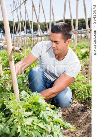 Man gardener working with tomatoes bushes in garden 59425943