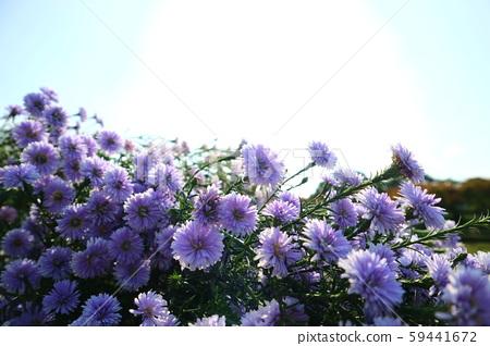 台北,圓山,花博公園,荷蘭菊 59441672
