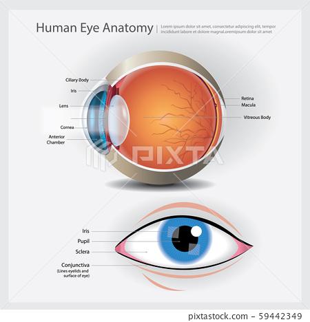 Human Eye Anatomy Vector Illustration 59442349