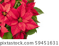 Poinsettia, Christmas flower, isolated on a white background, shot from the top with a place for 59451631