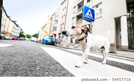 dog and owner  with leash crossing street 59457718