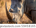 Close up of a White rhino head. 59458165