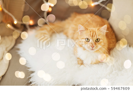 red tabby cat on sofa with sheepskin at home 59467609