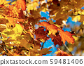 Red orange and yellow leaves of a maple tree in autumn 59481406
