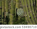 baja california sur giant cactus in desert 59490710