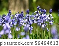 Shiracampanurata Blue purple flower up 59494613