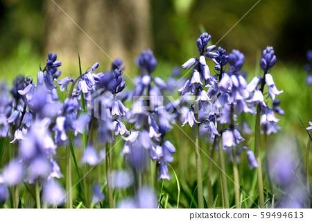 Shiracampanurata蓝色紫色花 59494613
