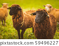 Brown wool , black-faced sheep grazing on a meadow 59496227