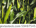 Closeup of a young maize plant in summer. Corn 59497545