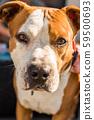 Staffordshire Terrier Amstaff dog in a garden 59500693