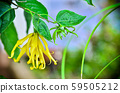 Ylang Ylang flower in garden 59505212