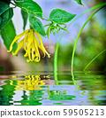Ylang Ylang flower in garden 59505213