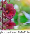 cranberry hibiscus in garden 59505214