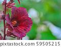cranberry hibiscus in garden 59505215
