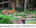 The tiger in the zoo looks at the electric wire, 59506355