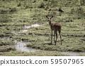 黑斑羚生活在濕地 59507965