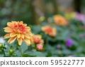 Beautiful orange chrysanthemums blooming in garden,Thailand 59522777