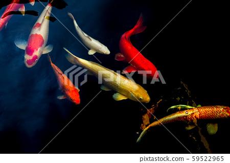 Japanese Koi fish swim in pond isolate in black background. 59522965