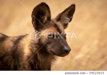 Close-up of wild dog standing facing right 59523815