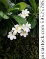 frangipani, frangipani flower or pagoda tree 59525785