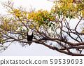 Big Bald eagle on tree branch in Serengeti savanna 59539693