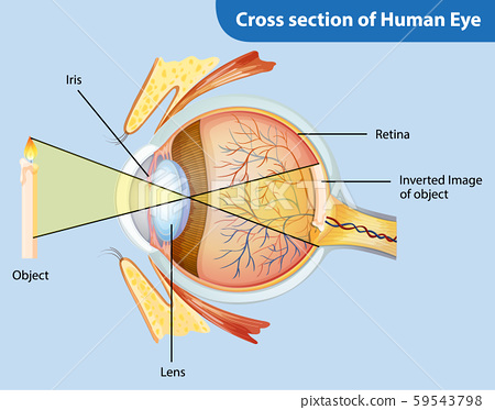 Diagram showing cross section of human eye 59543798