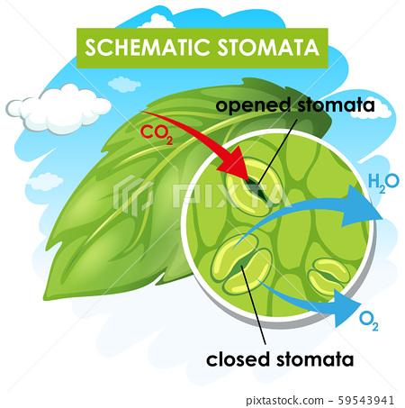 Diagram showing schematic stomata 59543941