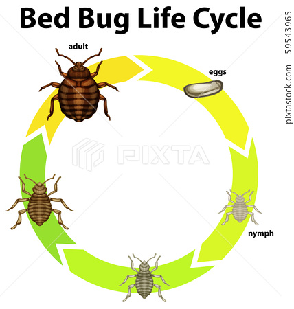 Diagram showing life cycle of bed bug 59543965