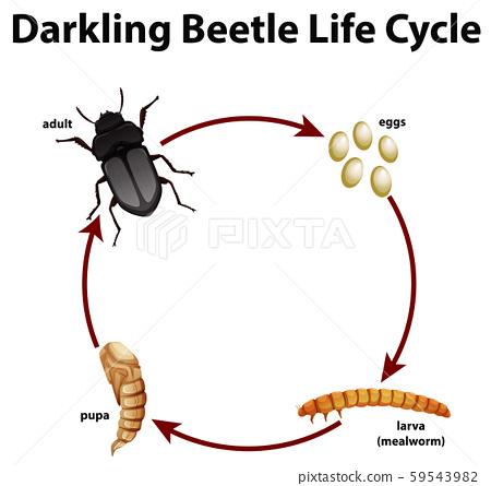 Diagram showing life cycle of darkling beetle 59543982