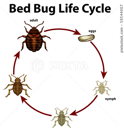 Diagram showing life cycle of bed bug 59544007