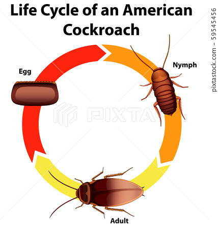 Diagram showing life cycle of cockroach 59545456