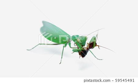 正在吃蟑螂的綠色母寬腹螳螂 59545491