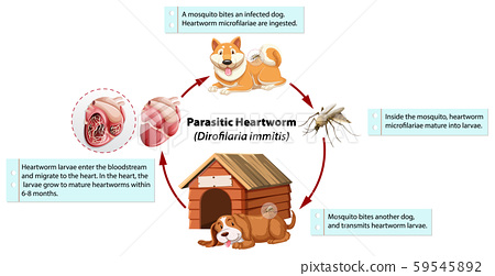 Diagram showing parasitic heartworm in dog 59545892