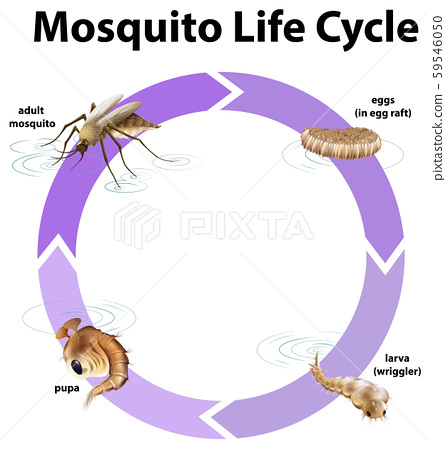Diagram showing life cycle of mosquito 59546050