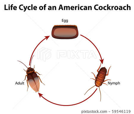 Diagram showing life cycle of cockroach 59546119