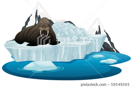 Isolated picture of walrus on ice 59549305