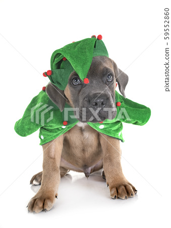 puppy cane corso 59552860