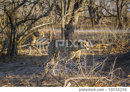 Cheetah in Kruger National park, South Africa 59556256