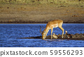 Common Impala and egyptian goose in Kruger 59556293