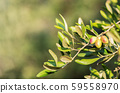 Olive bunch with green young olives on blurred background. Green olives on olive tree. Copy space 59558970