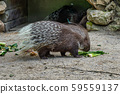 Indian crested Porcupine, Hystrix indica in a german zoo 59559137