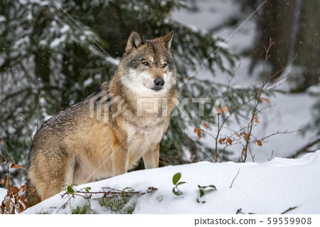 grey wolf in the snow 59559908