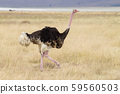 Ostrich bird close up. Ngorongoro Conservation 59560503