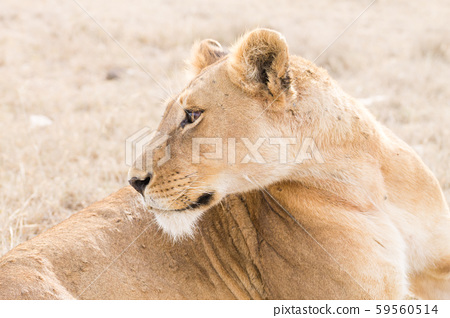 Lioness close up. Serengeti National Park, 59560514